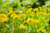 Fototapeta dandelions in the field