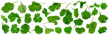 Fresh cilantro twigs