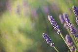 lavender - 84938355
