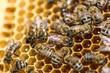 Obrazy na płótnie, fototapety, zdjęcia, fotoobrazy drukowane : Bee, Honeycomb, Beehive.