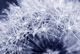 Fototapeta dandelion with dew drops close up