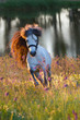 Grey pony with long mane portrait run at summer sunset in flowers