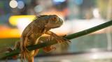 Fotoroleta Iguana su ramo