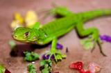 Fotoroleta A Baby Green Iguana