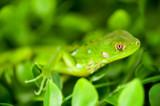 Fotoroleta Headshot of a Baby Green Iguana