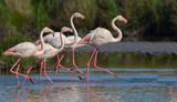 Greater Flamingo (Phoenicopterus roseus) - Walking