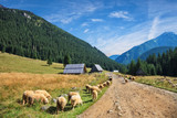 Sheep grazing in Chocholowska Valley in the Tatra Mountains, Poland.