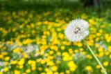 Fototapeta White dandelion in a field