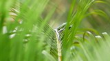 Chrysopelea ornata or Golden Tree Snake in natural environment in jungle poster