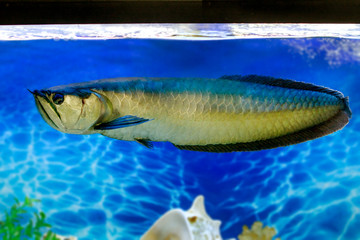 Arovana tropical freshwater fish in the aquarium