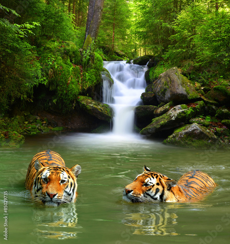 Foto op Canvas Bestsellers Siberian Tigers in water