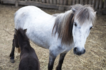 white and black pony foal
