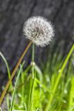 Fototapeta Dandelion Blowball and Seeds