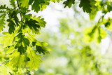 Fototapety natural background - green oak leaves in woods