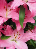 Fotoroleta pinkfarbene Lilien
