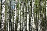 Spring birches background