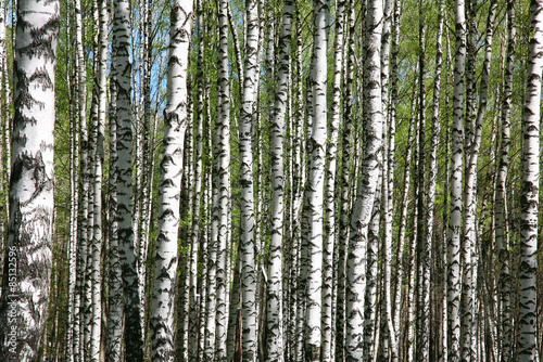 Spring birches background canvas