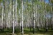 Spring birch forest in sunlight