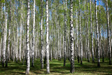 Spring birch forest in sunlight