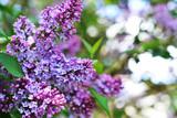 Fototapeta purple lilac
