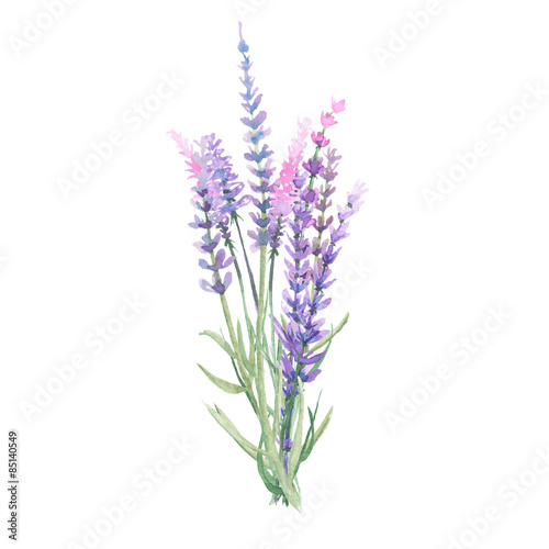 Bouquet of lavender painted with watercolors on white background