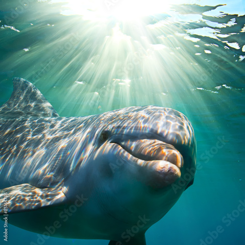 Fototapeta A dolphin underwater with sunbeams. Closeup portrait
