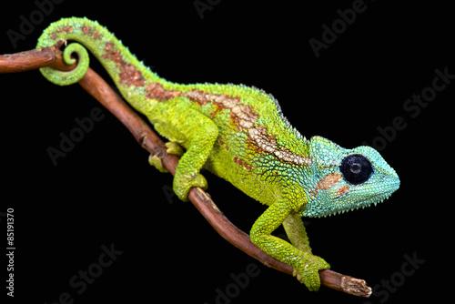 Góra Hanang Chameleon (Triodies hanangensis)