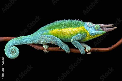 Kameleon Jacksona (Trioceros jacksonii jacksonii)