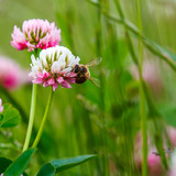 Fototapeta Honey Bee On Clover