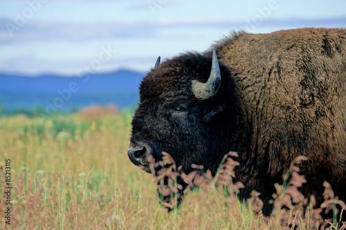 Fotobehang Bison Iconic American Bison in Grand Teton National Park in Wyoming