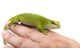 Phelsuma madagascariensis - gecko on a hand poster