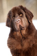 Newfoundland dog portrait in winter
