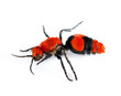 Cow Killer or Velvet ant in isolated macro