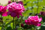 Fototapeta Flowering  red roses plant