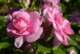 Fototapeta Flowers - Rose