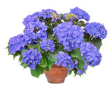 Blue Hortensie, hydrangea, isolated