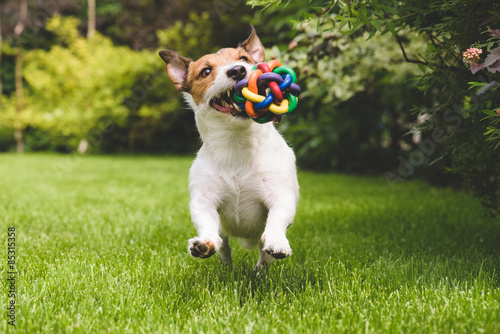 Jack Russell running with a colourful ball Poster