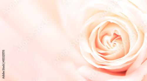 Zdjęcia na płótnie, fototapety, obrazy : Banner with pink rose