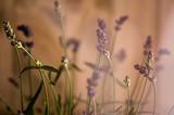 Fototapety Lavendel im Licht
