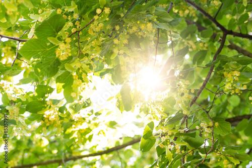 Blooming linden, tilleul en fleurs avec des abeilles et sunflare Poster