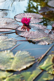 Fototapeta Single pink exotic water lily in tropical pond Tobago