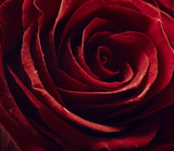 Fototapeta Red rose