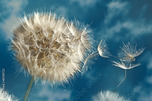 Close up of dandelion spores blowing away © angelo lano
