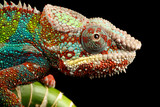 Fototapety blue bar panther chameleon macro of head isolated against a black background