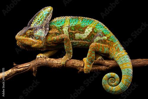 Zdjęcia na płótnie, fototapety na wymiar, obrazy na ścianę : Side on picture of a yemen chameleon isolated on a black background