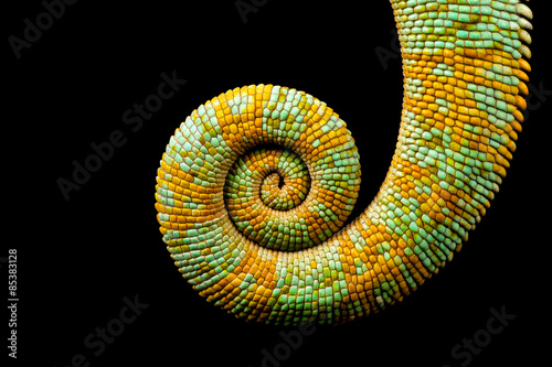 Plexiglas Kameleon A curled up tail of a yemen chameleon isolated on a black background