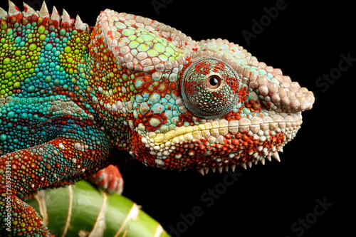 Fotobehang Kameleon blue bar panther chameleon macro of head isolated against a black background