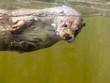 European otter (Lutra lutra lutra)