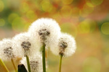 Fototapeta Fluffy white flowers of a dandelion in spring day in sunshine beams with bokeh. A spring background with bokeh