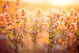 Fototapety wild meadow flowers at summer sunset